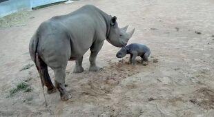 Urodził się nosorożec czarny, przedstawiciel krytycznie zagrożonego gatunku