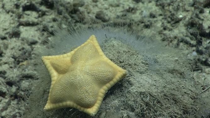 Włoski pierożek na dnie oceanu? Niezwykły mieszkaniec głębin