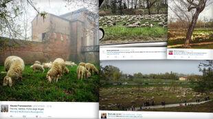 Setki żarłocznych owiec zatrudnione do koszenia trawy