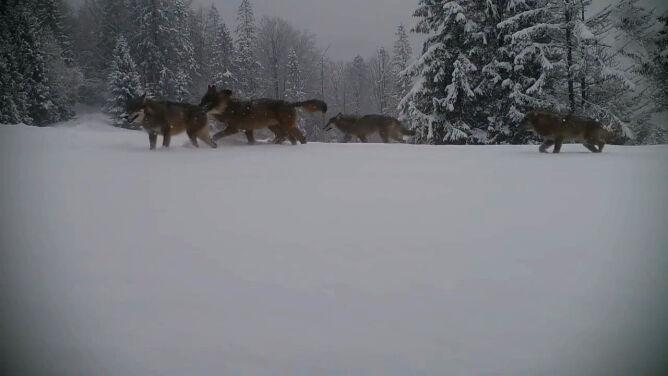 Wilki w górach. Fotopułapka uchwyciła całą rodzinę