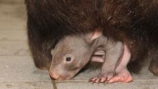 Wombat Apari szykuje się do samodzielnego życia (fot. Zoo Duisburg)